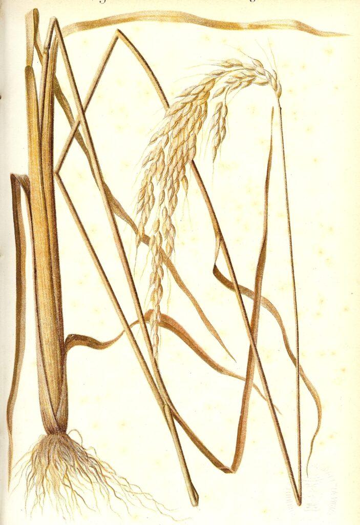 introduzione alla storia del riso